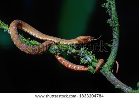 Central American Tree Boa, Corallus annulatus, also known as common tree boa, Trinidad tree boa or tee boa hanging on a branch in the forest in Costa Rica #1833204784