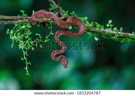Central American Tree Boa, Corallus annulatus, also known as common tree boa, Trinidad tree boa or tee boa hanging on a branch in the forest in Costa Rica #1833204787