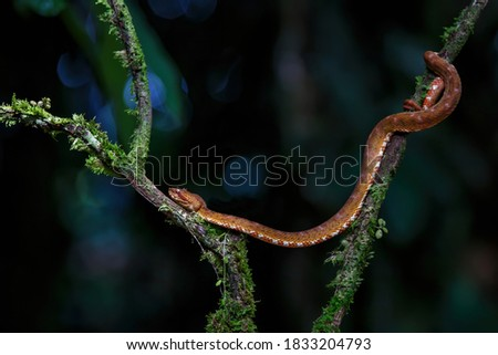 Central American Tree Boa, Corallus annulatus, also known as common tree boa, Trinidad tree boa or tee boa hanging on a branch in the forest in Costa Rica #1833204793