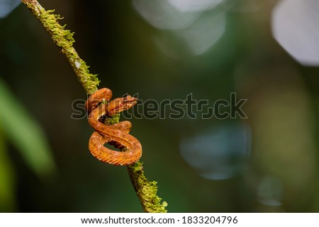 Central American Tree Boa, Corallus annulatus, also known as common tree boa, Trinidad tree boa or tee boa hanging on a branch in the forest in Costa Rica #1833204796