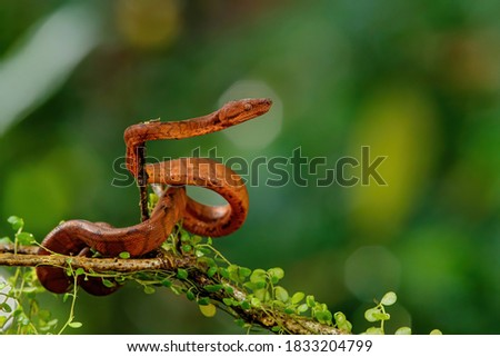 Central American Tree Boa, Corallus annulatus, also known as common tree boa, Trinidad tree boa or tee boa hanging on a branch in the forest in Costa Rica #1833204799