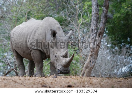 A white rhino rests in the shade. Rhinos are being heavily persecuted in South Africa by poachers for their horns which are literally worth more than their weight in gold. #183329594