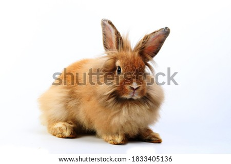 A healthy Lovely bunny easter fluffy rabbit, Adorable baby rabbit on white background. The Easter white creamy hares. Close - up of a rabbit.