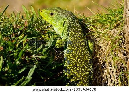 Ocellated lizard or jewelled lizard, Timon lepidus, lizard above the trunk. #1833434698