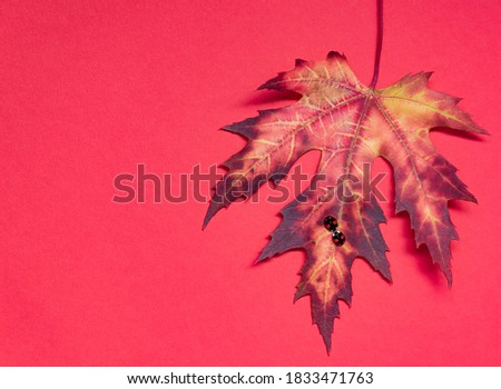 Two black ladybugs with red spots kiss on a maple leaf.