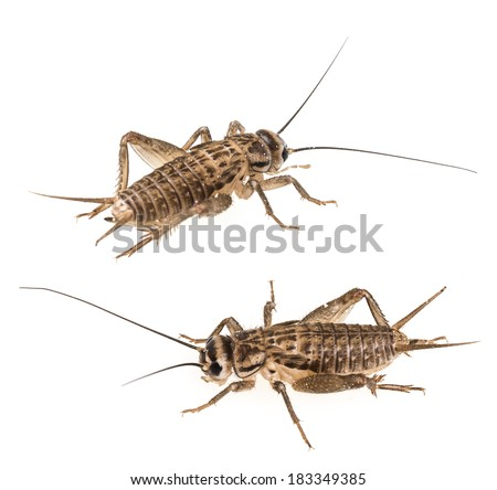 cricket isolated on a white