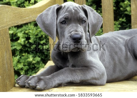 Great Dane Puppy lying on wooden bench, facing forward. Royalty-Free Stock Photo #1833593665