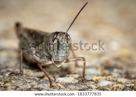 Detailed locust close-up picture taken in the garden