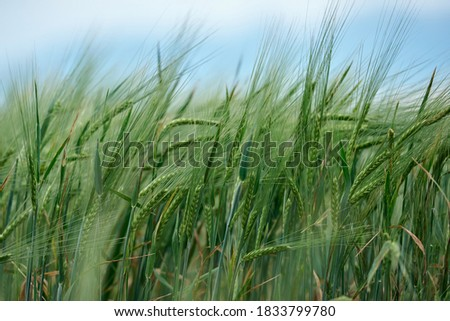 Field of fresh green barley cereals.Ears of green malting barley in the field #1833799780