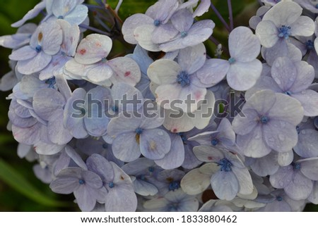 close up picture from blue hydrangeas