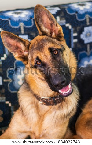 hilarious funny amusing young german shepherd dog with big ears smiling tilted head to the side sitting on the sofa