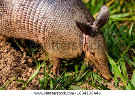 armadillo, enjoying breakfast with delicacies taken from the ground in the morning sun Royalty-Free Stock Photo #1834106446