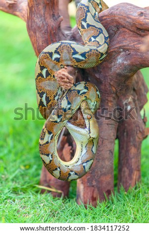 The boa constrictor (Boa constrictor), also called the red-tailed boa or the common boa, is a species of large, non-venomous, heavy-bodied snake that is frequently kept and bred in captivity. #1834117252