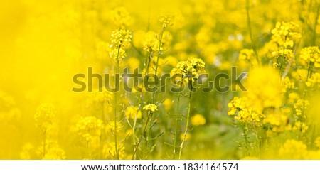 Raps field, rapeseed field, canola field, raps flowers close up. Selective focus, blurry background. #1834164574