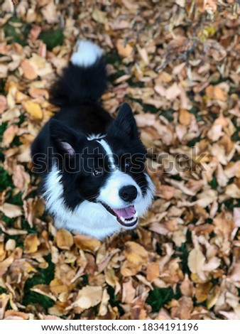 Top View of Smiling Border Collie Sitting Down on Fallen Autumn Leaves. Top-Down Picture of Black and White Happy Dog in Fall Season.
