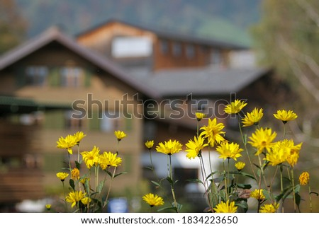 Selective focus. Alpine yellow autumn flowers on a Sunny day against the background of mountain houses. A pastoral picture.