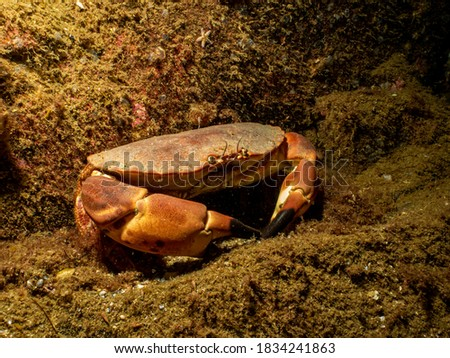 A closeup picture of a Cancer pagurus, also known as edible crab or brown crab. Picture from the Weather Islands, Sweden
