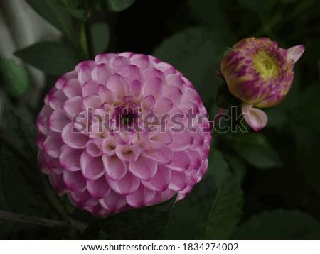 "blooming dahlia pompom variety ""Genova"" Royalty-Free Stock Photo #1834274002"