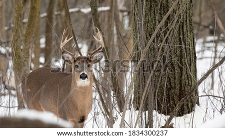 white tail deer enjoying a relaxing day in the forest while it spends time being in the woods during rutting season before hunting season