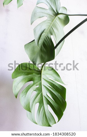 Carved leaves of a beautiful monstera flower on the background of a concrete wall. Home garden. Monstera deliciosa, tropical leaves, trend. Eco-friendly home concept. High contrast, light and shadow.  Royalty-Free Stock Photo #1834308520