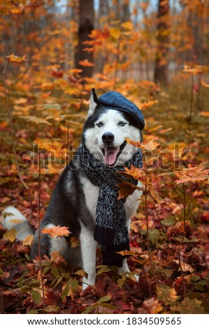 Portrait of a dog in cap and scarf on autumn background. Siberian Husky black and white colour outdoors in autumn park, tongue out. A pedigreed purebred dog Royalty-Free Stock Photo #1834509565