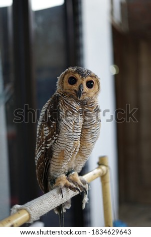This is a picture of Strix Seloputo type owl.