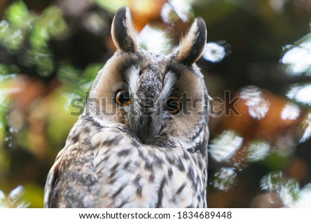 Cute small owl or a hawk. Looking directly into the camera. Wildlife is amazing. Lovely picture of a bird. Close up image of sitting  owl. Nice autumn colors. Estonian wildlife. Looking for pray