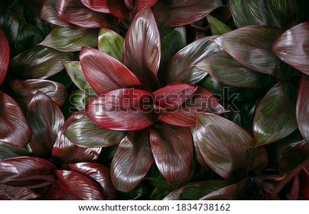 Ti plant, Cordyline fruticosa leaves, Colorful foliage, Exotic tropical leaf background Royalty-Free Stock Photo #1834738162