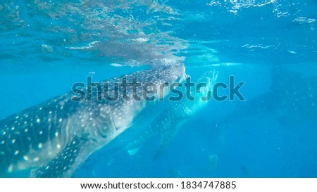 Three whale sharks in one picture swimming and eating off the coast of the Philippines Asia near Cebu Island