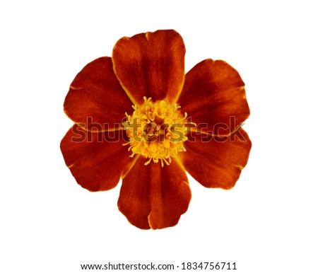 A red golden marigold flower head