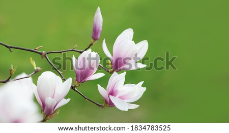 Natural background concept. Pink magnolia branch. Magnolia tree blossom. Blossom magnolia branch against nature background.