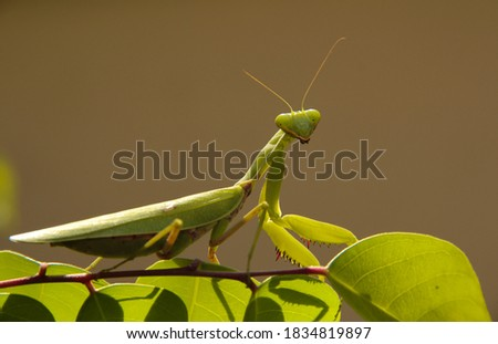 The selective focus picture, The mantis, a green insect, entomology, is an arthropod with wings and  that live on leaves and meadow.