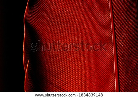 Beautiful red feather pattern texture background ,Red macro feather,Macaw Feathers (Maroon) Feather, Bird, Animal, Maroon, Red,Red feather ,Feather, Taiwan, Black Color, Close-up, Backgrounds #1834839148