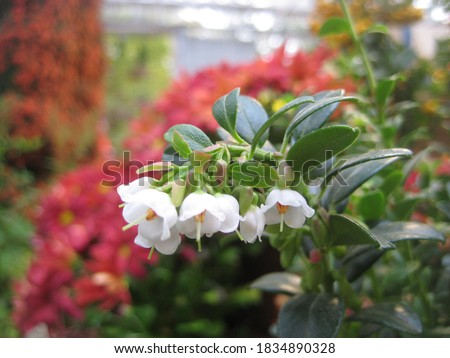 macro photo with a decorative background of beautiful small white flowers on a shrub branch on a blurry bright red background in orange as a source for prints, Wallpaper, posters, decor