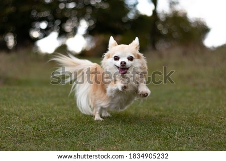 long haired Chihuahua playing in a park