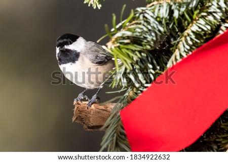 Carolina Chickadee Playing with a Merry Christmas Wreath #1834922632