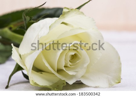 Beautiful white rose with details  #183500342