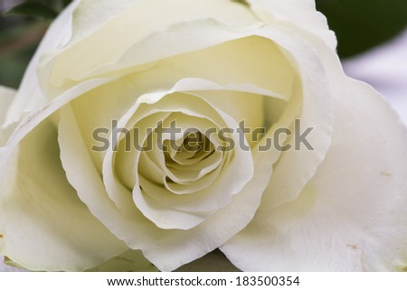 Beautiful white rose with details  #183500354
