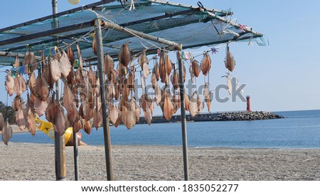 Set of Picture Natural Drying Squids in Clear Sunny Autumn in East Coast Korea
