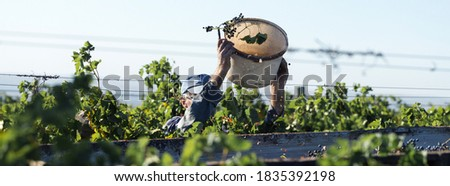 Workers pour blue grapes onto a trailer in a vineyard. Autumn harvesting. Royalty-Free Stock Photo #1835392198
