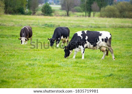 Several cows grazing in a green meadow on a cloudy day Royalty-Free Stock Photo #1835719981