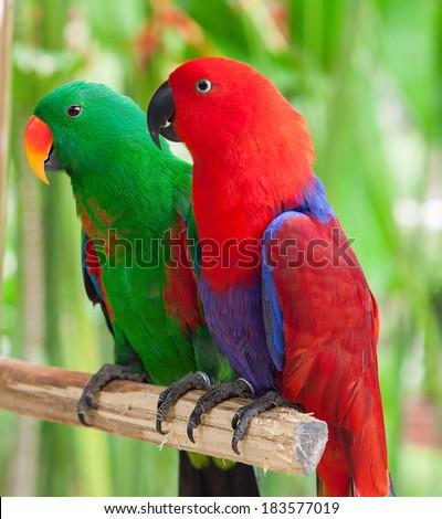 a pair of Solomon Island Eclectus Parrots ( Eclectus roratus solomonensis) #183577019