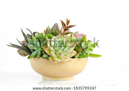 Centerpieces arrangement of pastel green echeveria succulent plant in yellow ceramic planter on white table top background Royalty-Free Stock Photo #1835799247