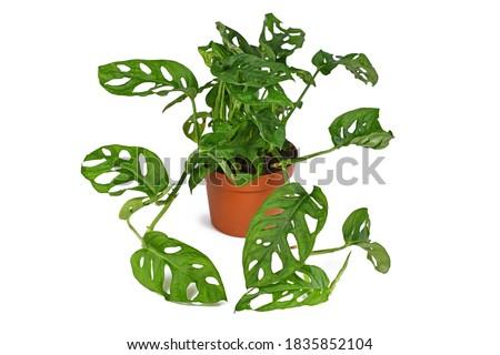 Full tropical 'Monstera Adansonii' or 'Monstera Monkey Mask' vine houseplant in flower pot on white background Royalty-Free Stock Photo #1835852104