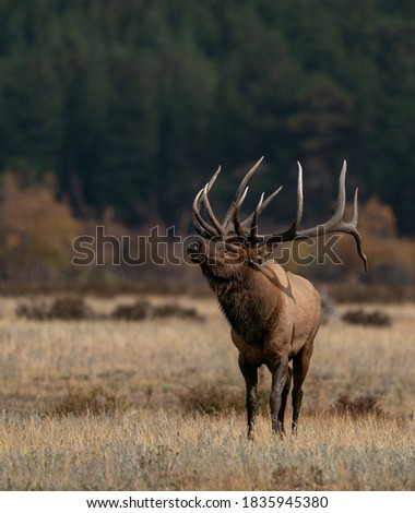wild elk in the west. Royalty-Free Stock Photo #1835945380