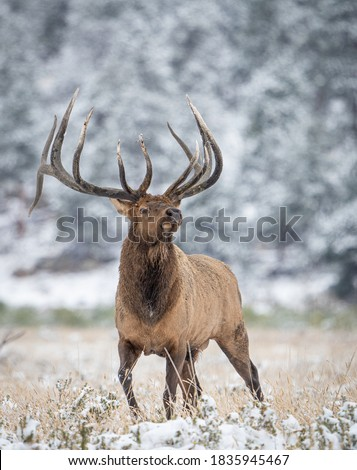 wild elk in the west. Royalty-Free Stock Photo #1835945467