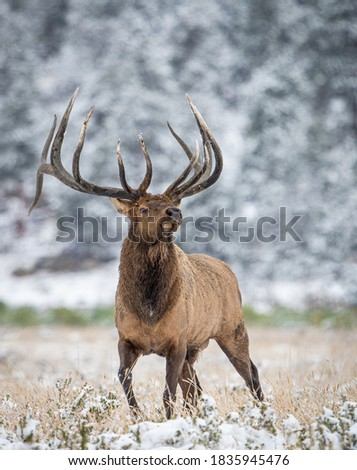 wild elk in the west. Royalty-Free Stock Photo #1835945476