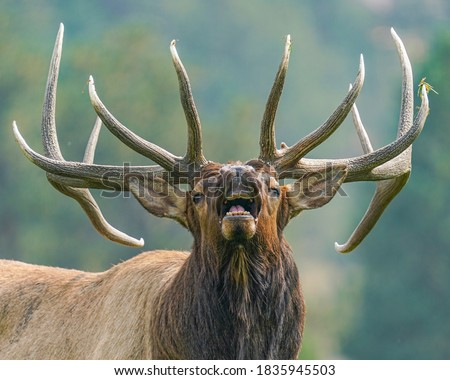 wild elk in the west. Royalty-Free Stock Photo #1835945503