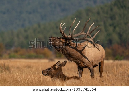wild elk in the west. Royalty-Free Stock Photo #1835945554