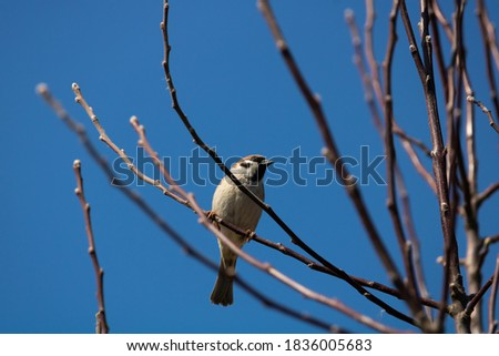 A close-up photo of a sparrow (passer) sits on a branch of a tree without leaves and looks into the camera. In the background you can see the clear blue sky.